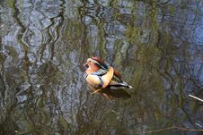 Mandarin Duck Royalty Free Stock Photos