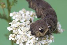 Free An Elephant Hawk-moth Caterpillar - Deilephila Elpenor. Royalty Free Stock Images - 32659799