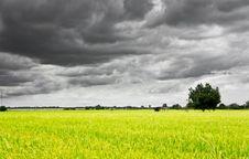 Free Rice Field Stock Photos - 32659873