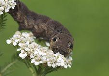 Free An Elephant Hawk-moth Caterpillar - Deilephila Elpenor. Royalty Free Stock Images - 32660019