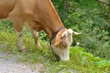 Free Cow With Bell Eating Grass Royalty Free Stock Photos - 32687148