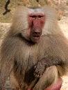 Free Hamadryas Baboon Stock Image - 3274221
