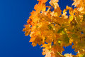 Free Maple Leaves Stock Photos - 3274873