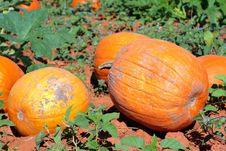Free Bountiful Pumpkin Harvest Royalty Free Stock Photography - 3270457