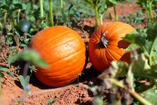 Free Pumpkins Waiting Royalty Free Stock Photos - 3270498