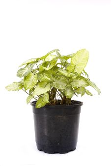 Free Potted Plant Isolated Stock Photos - 3271533