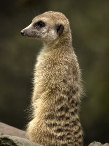 Free Meerkat Royalty Free Stock Photo - 3273555