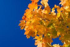 Free Maple Leaves Stock Photos - 3274873
