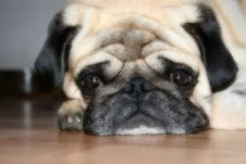Free Pug With Purpose Royalty Free Stock Photos - 3275728