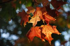 Sunlit Maple Leaves Stock Image