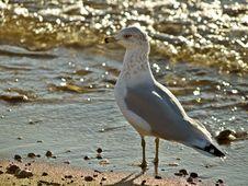 Free Seagull Stock Image - 3277331