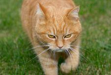 Free Ginger Cat Stock Photos - 3277353