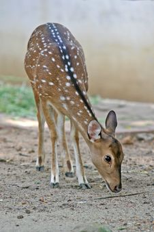 Free Spotted Deer Royalty Free Stock Image - 3278396