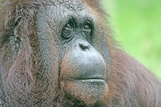 Free Orangutan Stock Photos - 3278473