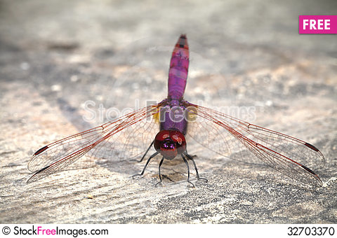Free Dragonfly Resting On A Wall Stock Photo - 32703370