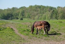 Free Horse With Foal Royalty Free Stock Images - 32704839