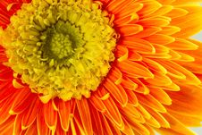 Free Gerbera Flower Royalty Free Stock Image - 32707406