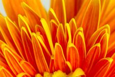 Free Gerbera Petals Stock Photo - 32707410