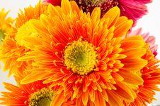 Free Gerbera Flowers Stock Photo - 32707420