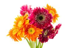 Free Gerbera Flowers Stock Images - 32707424