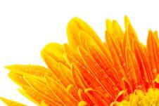 Free Drops On Petals Stock Photo - 32707430