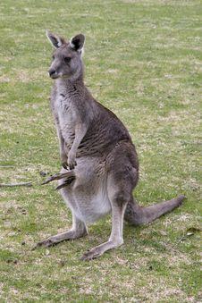 Free Grey Kangaroo With Confused Joey Stock Image - 32707621
