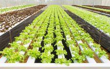 Free Organic Hydroponic Vegetable Farm Stock Photo - 32711510