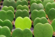 Free Green Heart Shape Plant Stock Images - 32711634