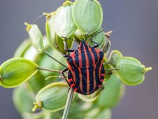 Free Striped Beetle Stock Image - 32712171