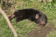 Sleeping Tasmanian Devil Royalty Free Stock Images