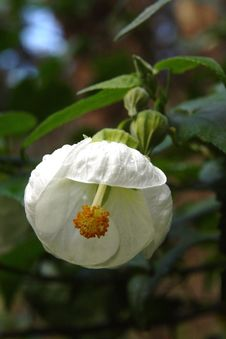 Free White Ballerina Flower Stock Photography - 32717072