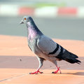 Free Pigeon Stock Photography - 32728262