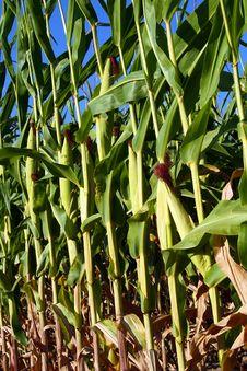 Corn - Closeup Stock Photography