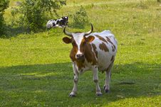 Cattle On Pasture Royalty Free Stock Photo