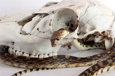 Free Snake And Skull Stock Images - 32725154
