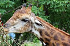 Free Giraffe Stock Images - 32728024