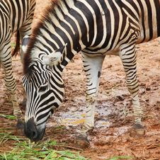 Free Zebra Royalty Free Stock Photo - 32728085