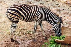 Free Zebra Royalty Free Stock Image - 32728126