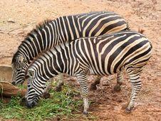 Free Zebra Royalty Free Stock Photography - 32728167