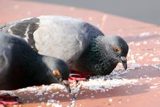 Free Pigeon Stock Images - 32728284