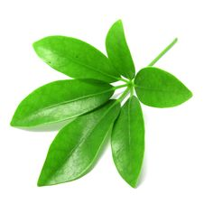 Free Green Leaf Royalty Free Stock Images - 32729439