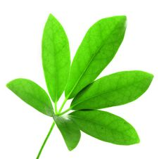 Free Green Leaf Stock Photography - 32729452