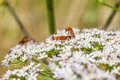 Free Common Red Soldier Beetle Royalty Free Stock Photos - 32737128