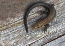 Free Lizard. Royalty Free Stock Photography - 32734197