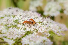 Free Common Red Soldier Beetle Stock Photos - 32737123