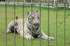 Free White Tiger Royalty Free Stock Photo - 32737375