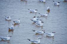 Free Seagull Stock Images - 32743184