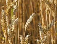 Free Wheat Stock Photography - 32753202