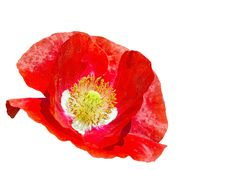 Free Bouquet Of Poppy Flower Royalty Free Stock Photos - 32758988