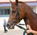 Free Portrait Of Arabian Horse. Stock Photo - 32769810